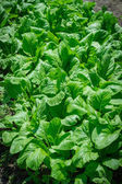 Chinese Cabbage — Stock Photo