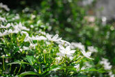 Gerdenia Crape Jasmine — Stock Photo