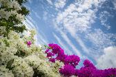 Bougainvillea or paper flower — Stock Photo
