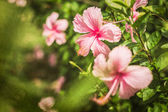 Chinese rose flower background — Stock Photo