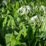 Crinum asiaticum, crinum lily or poison bulb — Stock Photo #32423479