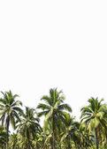 Plantación de cocos es aislado en blanco — Foto de Stock