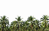 Coconut plantation is isolated on white — Stock Photo