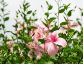Hibiscus or chinese rose flower — Stockfoto
