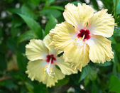 Hibiscus or chinese rose flower — Stock Photo