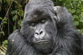 Gorilla3 — Stock Photo