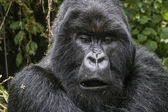 Gorilla17 — Stock Photo