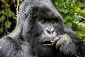 Gorilla18 — Stock Photo