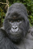 Gorilla16 — Stock Photo