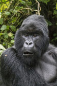 Gorilla22 — Stock Photo