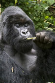 Gorilla21 — Stock Photo