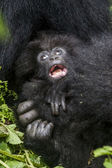 Gorilla24 — Stockfoto