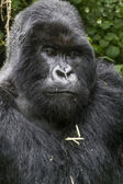Gorilla2 — Stock Photo