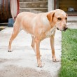 Stock Photo: Family pet, labrador dog standing and waiting