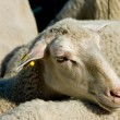 Head shot of a sheep in a herd — Stock Photo