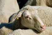 Cabeza de una oveja en un rebaño — Foto de Stock