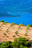 Olive groves by the sea in Dalmatia — Stock Photo