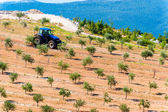 Tractor plowing olive groves by the sea in Dalmatia — Stock Photo