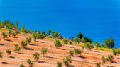 Olive groves by the sea in Dalmatia — Stok fotoğraf