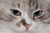 White cat with blue eyes. — Stockfoto