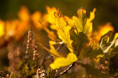 Golden oak leaves at the tree in the forest — Stock Photo