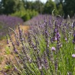 Lavender in a field — Stock fotografie