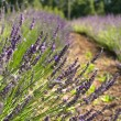 Lavender in a field — Stock Photo