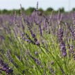 Lavender in a field — Foto de Stock