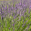 Lavender in a field — Stock Photo #28815951