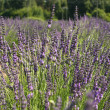 Lavender in a field — 图库照片