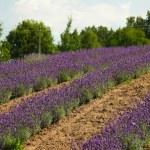 lavendel in een veld — Stockfoto #28815985