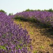 Stock Photo: Lavender in field