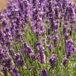 Lavender Flowers — Stock Photo #28815993