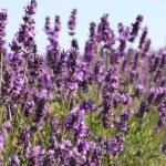 ラベンダーの花 — ストック写真 #28816025