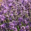 Lavender Flowers — Stock Photo #28816029