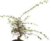 Ungepflegter Bonsai Bonsai Zelkovaungepflegeter Zel — Stockfoto