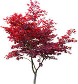 Japanese maple on white — Stock Photo