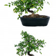 Stockfoto: Bonsai tree cut