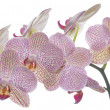 Phalaenopsis flower spike — Stock Photo