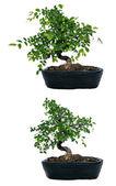 Wyciąć drzewo bonsai — Zdjęcie stockowe