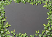 Green elm branches on a black background. — Stock Photo