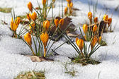 Yellow crocuses, spring awakening — Stock Photo