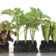 Vegetable seedlings in block culture — Stock Photo