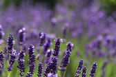 Lavender bushes in the lavender flower. — Stock Photo