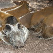 Stock Photo: Africred pig boar resting on backgroundof female's back