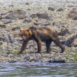 Stock Photo: Grizzly bear walking on seshore in Glacier Bay National Park