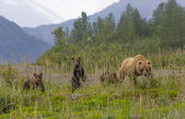 Grizzly familie hoog gras in nationaal park glacier bay, alaska. — Stockfoto