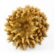 Stock Photo: Giant Coulter pine (Pinus coulteri) cone, base view