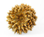 Giant Coulter pine (Pinus coulteri) cone, base view — Stock fotografie