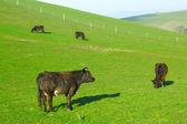 丘の上の放牧草 — ストック写真